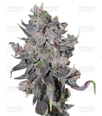 Buy Blue Mystic Automatic feminized seeds
