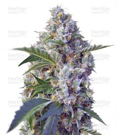 Buy Indigo Berry Kush feminized seeds