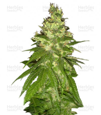 Buy Mekong High feminized seeds