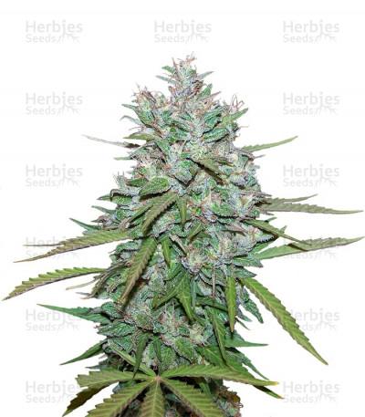 Buy Northern Lights 5 X Haze feminized seeds