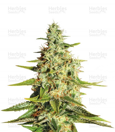 Buy Acapulco Gold feminized seeds