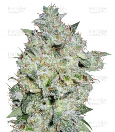Buy Afghan Kush Special feminized seeds