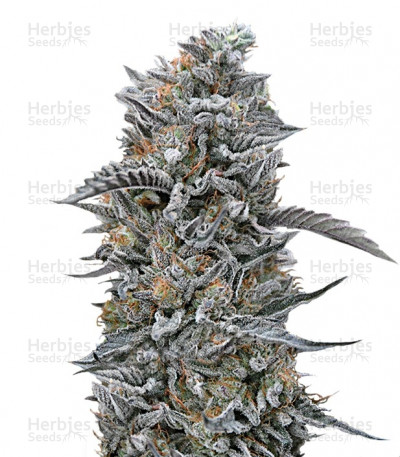 Buy Black D.O.G. feminized seeds