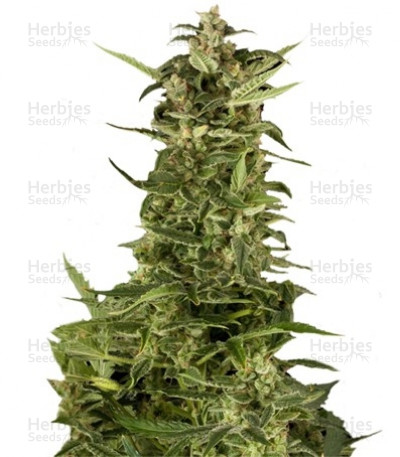 Buy PolarLight #2 auto feminized seeds