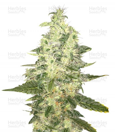 Buy Supreme Kush CBD feminized seeds