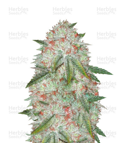 Buy Auto Chocodope feminized seeds