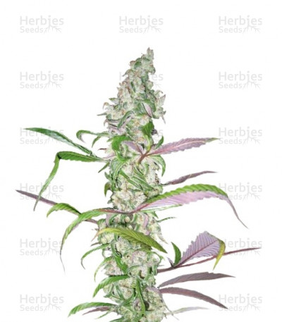 Buy Blueberry feminized seeds