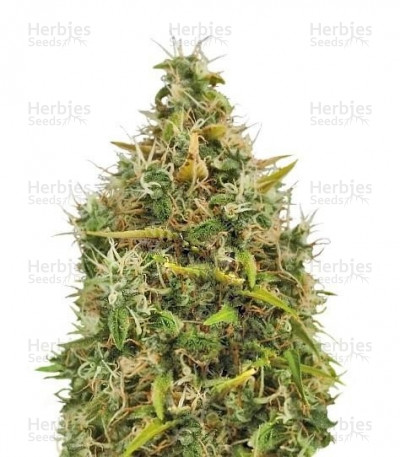 Buy Royal AK Automatic feminized seeds