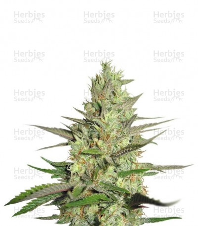 Buy Special Queen 1 feminized seeds