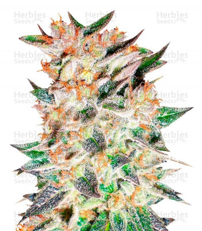 Buy Delicious Candy Auto feminized seeds