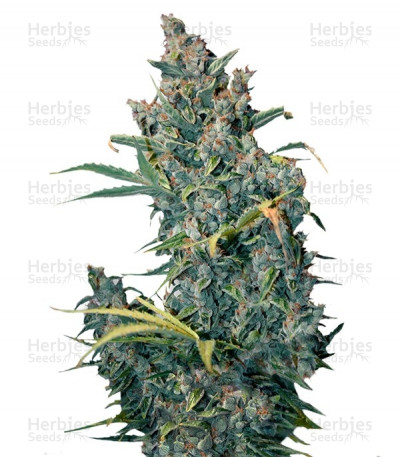 Buy Tundra feminized seeds