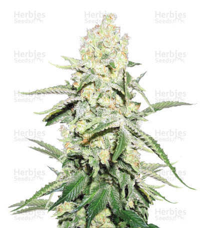 Buy La Blanca Gold Auto Fem seeds