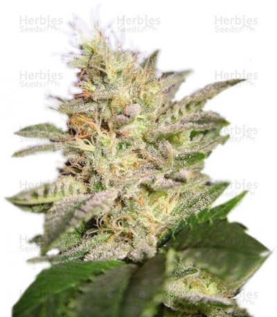 Buy Allkush feminized seeds