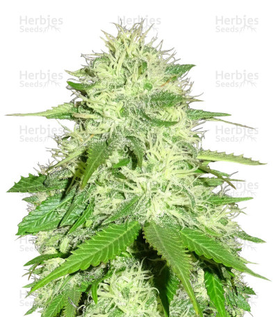 Buy Appleberry feminized seeds