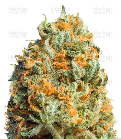 Buy Fully Loaded Auto feminized seeds