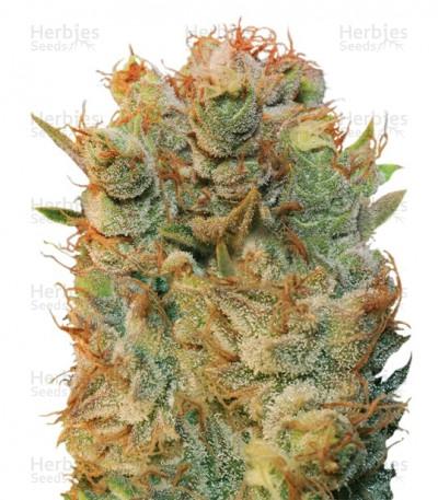 Buy MK Ultra x Bubblegum feminized seeds