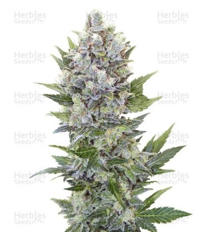 Buy Northern Light Automatic feminized seeds (Royal Queen Seeds)