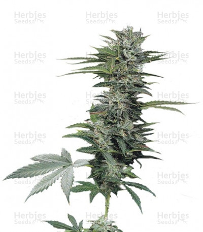Buy Roadrunner Autoflowering #2 feminized seeds