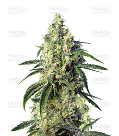 Buy Green Poison CBD feminized seeds
