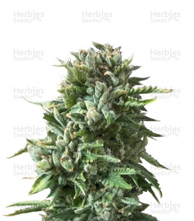 Buy Bubba Kush feminized seeds