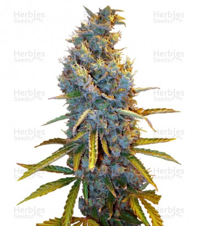 Buy Cream Caramel F1 Fast Version feminized seeds