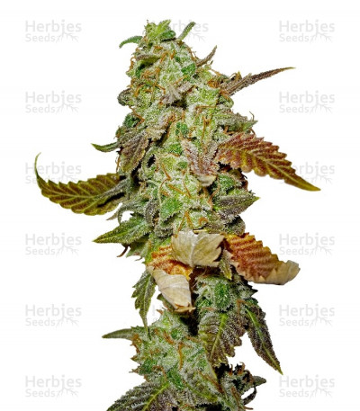 Buy Diesel feminized seeds