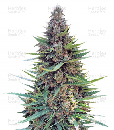 Buy Grand Heft Auto feminized seeds