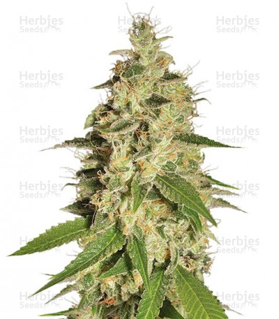 Buy Raspberry Diesel feminized seeds