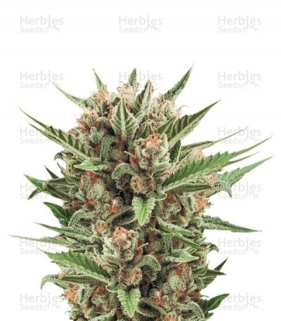 Buy Sweet Skunk Automatic feminized seeds