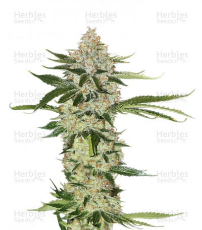 Buy Underdawg feminized seeds