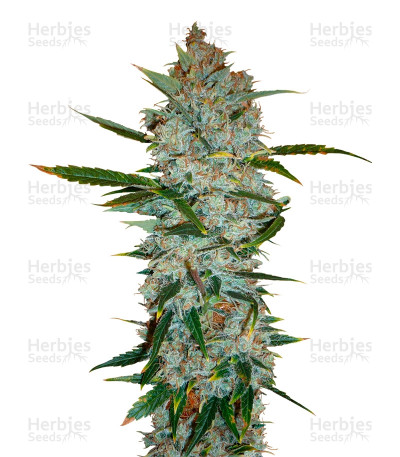 Buy Kali Mist feminized seeds