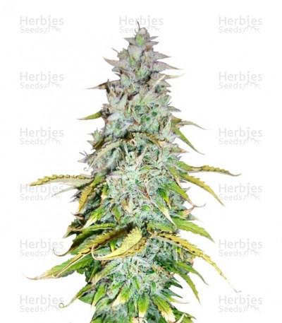 Buy Amnesia Haze Automatic feminized seeds (Royal Queen Seeds)