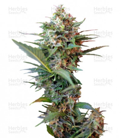 Buy Big Devil XL Auto feminized seeds