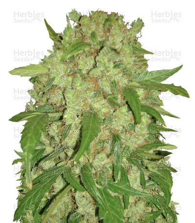 Buy Auto Wembley feminized seeds