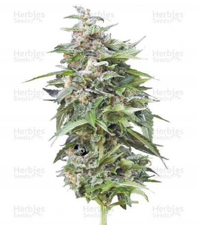 Buy Haze Gom Auto feminized seeds