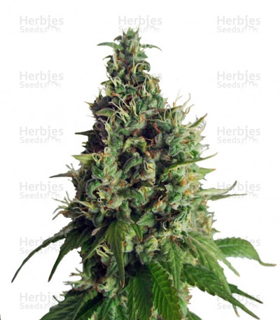 Buy Orange Hill Special feminized seeds