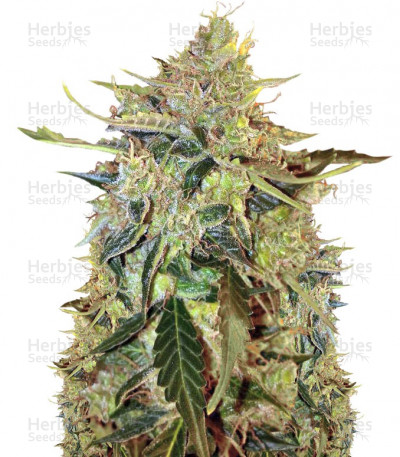Buy Auto American Pie feminized seeds