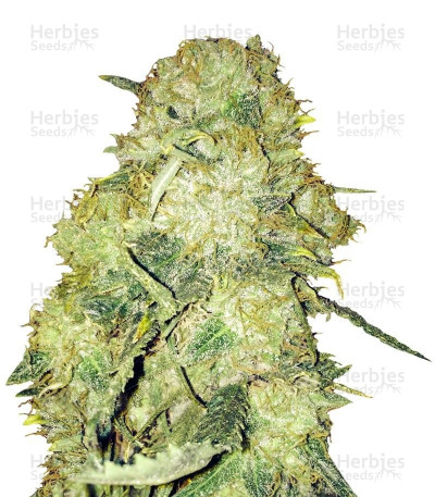 Buy Goldmine feminized seeds