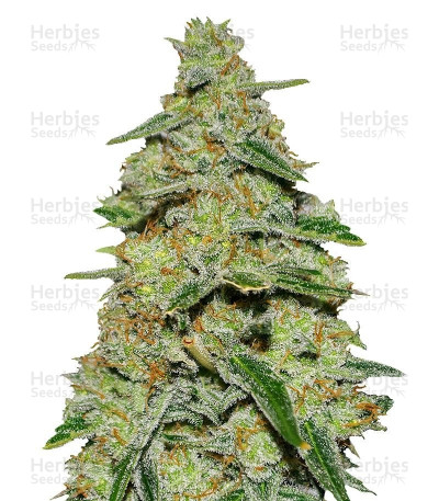Buy Lemon Cake feminized seeds