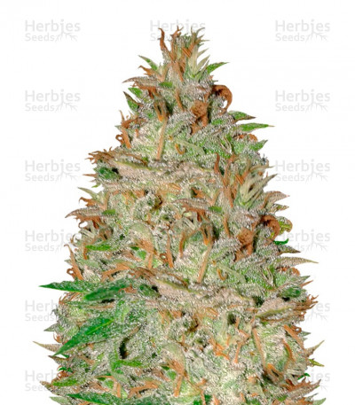 Buy Chocolate Orange Auto feminized seeds