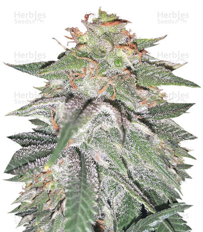 Buy Tutankhamon feminized seeds