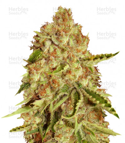 Buy LA Ultra feminized seeds