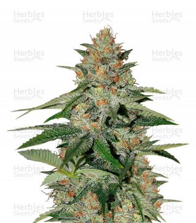 Buy Delicious Candy Early Version feminized seeds