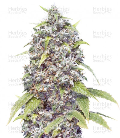 Buy Pure AK fem (Female Seeds)