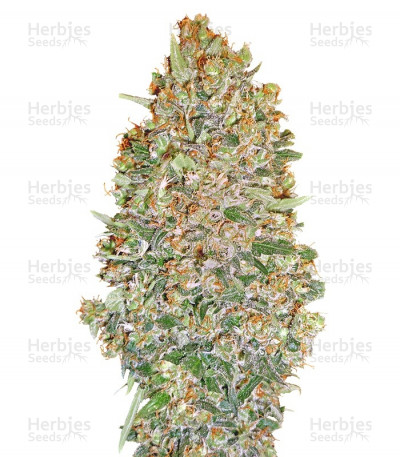 Buy Auto Chocolate Skunk feminized seeds