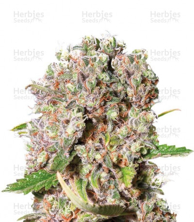 Buy Mendocino Skunk feminized seeds