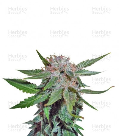 Buy Royal Cheese (Fast Flowering) feminized seeds