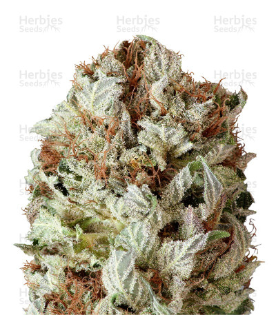 Buy Extreme Impact Auto feminized seeds
