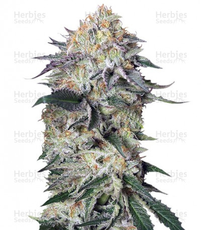 Buy Lemon Garlic OG feminized seeds
