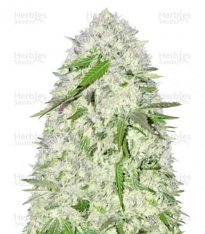 Buy Sweet Harlem Diesel regular seeds